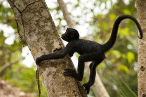 boaby monkey climb tree