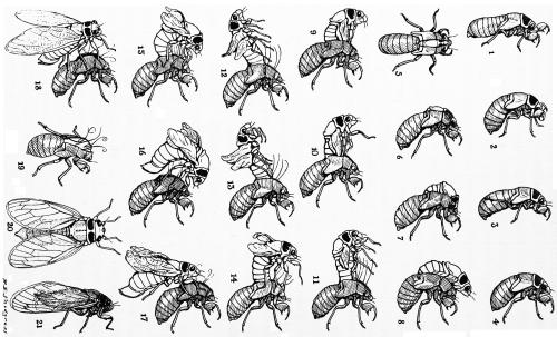 cicada-molt