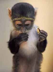 monkey baby eat chestnut