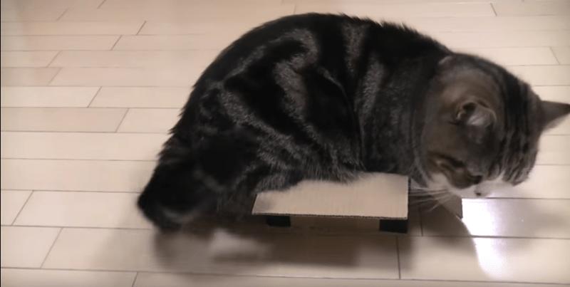 Cat Idols in Japan