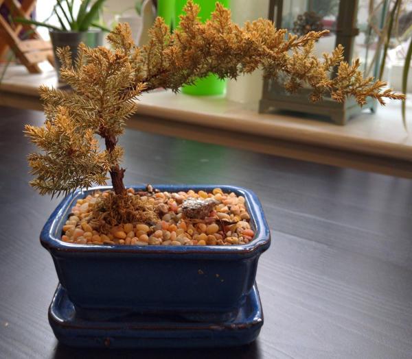 Dying Juniper bonsai