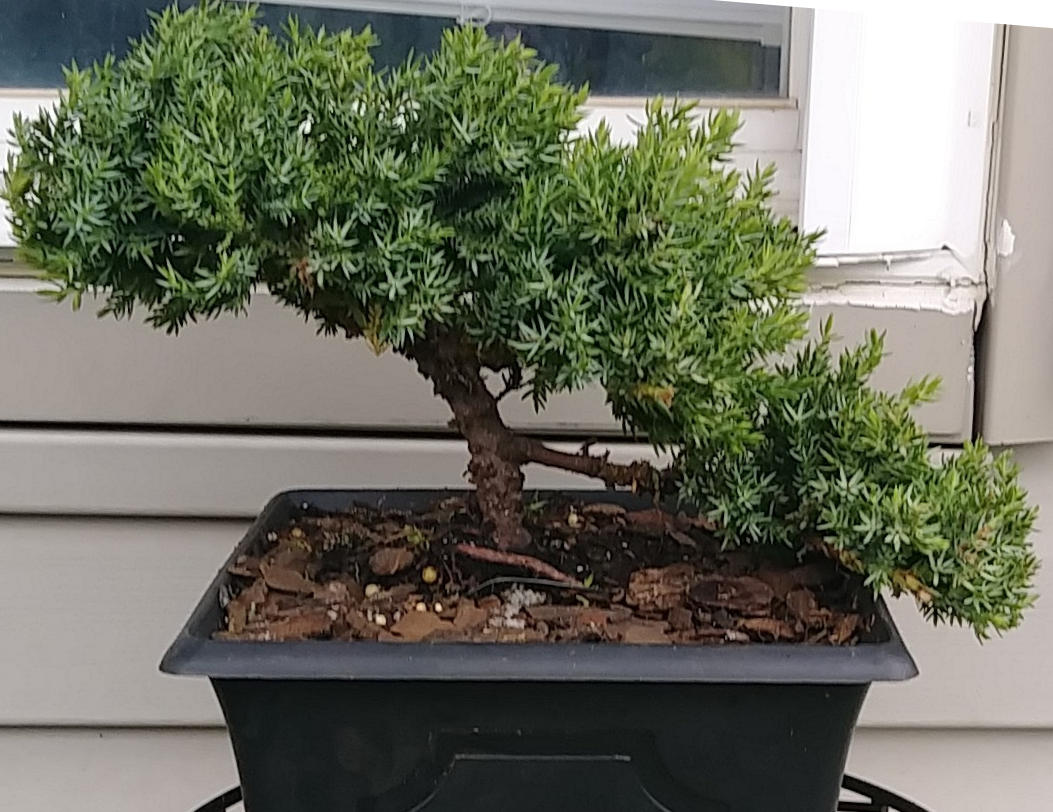 What Ive Learned From Killing Bonsai Trees Japan Powered Wiring Juniper Tree For The Past Few Years Dabbled In Growing Well Im Better At Them Than So Far I Have A Soft Heart Walmart And Lowes